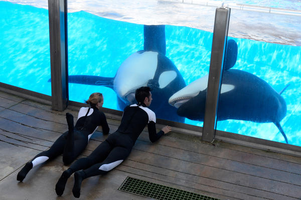 Kelly Flaherty Clark (left), director of animal training at Aquatica by SeaWorld, Orlando, and trainer Joe Sanchez work with Tilikum (left) and Trua during a training session at the theme park's Shamu Stadium in 2011.
