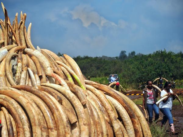 Volunteers carry elephant tusks to a burning site as Kenya Wildlife Services rangers keep guard on April 22, for a historic destruction of illegal ivory and rhino horn confiscated mostly from poachers in Nairobi's national park.