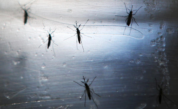 Aedes aegypti mosquitoes in a lab in Recife, Brazil.