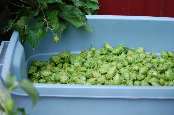 A bucket of freshly harvested hops sits at Midwest Hop Producers, ready for processing in Plattsmouth, Nebraska.