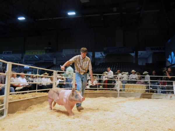 A handler and a hog compete for the blue ribbon at the 2013 Colorado State Fair.