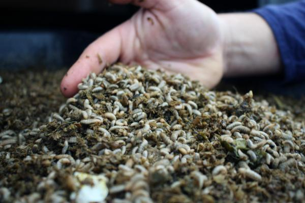Tens of thousands of black soldier fly larvae munch on juice pulp at Mad Agriculture's pilot facility in Boulder County, Colorado.