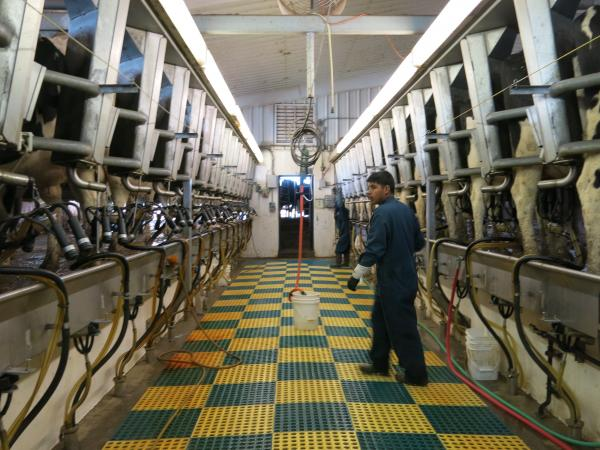 A worker tends to the cows at a dairy farm outside Wellington, Colorado.