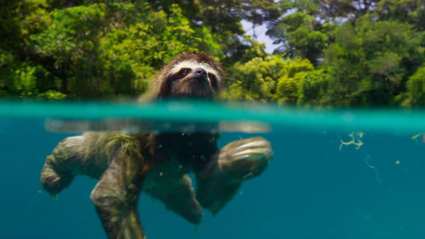 The BBC nature series <em>Planet Earth </em>returns to BBC America on Saturday. Above, a pygmy three-toed sloth swims off the coast of Escudo de Veraguas, Panama.