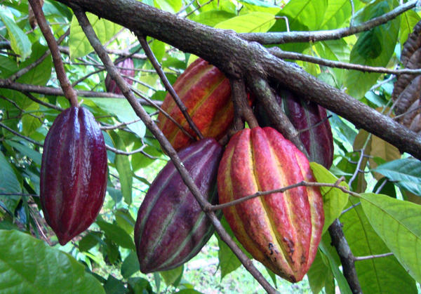 Cacao pods ready for harvest at the Loiza Dark Chocolate farm.