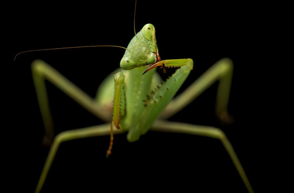This springbok mantis was photographed at the Auckland Zoo in New Zealand.