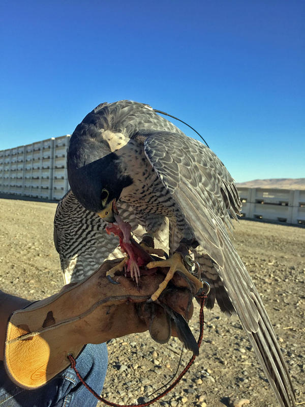 After a successful flight, Peregrine falcon Shaman receives a reward. In this case, he chows down on a previously frozen chunk of domestically raised quail. The Falcon Force raptors scare nuisance birds off from fields filled with ripening fruit.