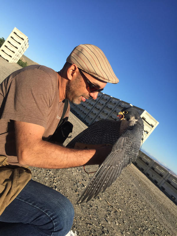 Vahe Alaverdian has been a falconer all his life.  He uses raptors to hunt. He started a professional bird abatement business in 2009. He uses his birds to find off nuisance birds from golf courses, resorts, orchards and wineries.