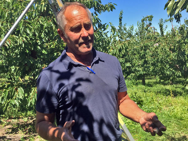 Mark Roy is a fourth generation fruit grower in Moxee, WA. Raptors with Falcon Force have been working his fields and orchards since 2011. He says he saves the birds of prey save his business at least $1,000 a day.