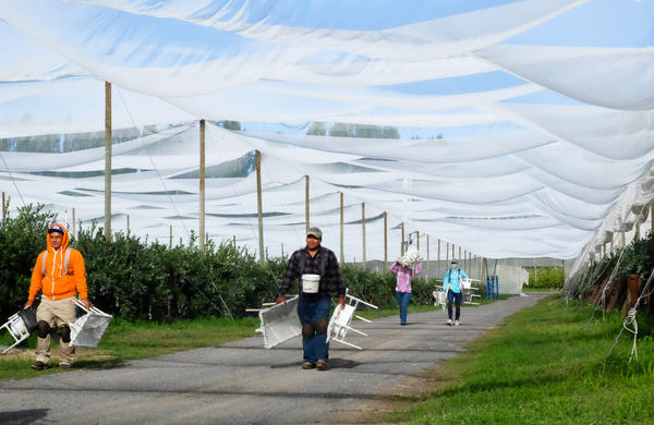 Giant tents protect organic blueberries from the sun and wind at a farm near Patterson, Washington, owned by Zirkle Fruit Company.