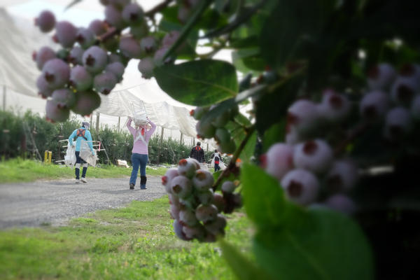 Around 1,000 workers tend to the blueberries under this tent near Patterson, Washington.
