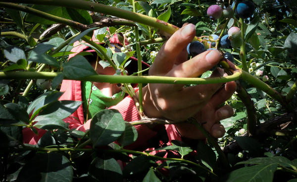 The shade cloth over the blueberry bushes helps farmers grow about about 20-30 percent more marketable fruit.