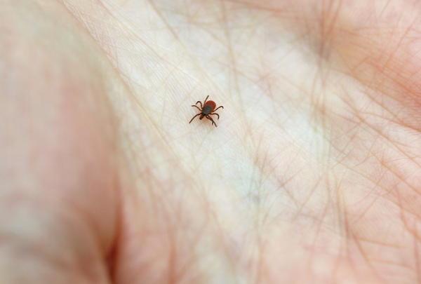 The culprit: Lyme disease is caused by the bite of a blacklegged tick.