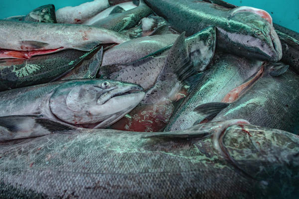<p>The salmon harvest is stored in large coolers to be brought to market and sold. Buyers include restaurants, individuals and local grocery markets.</p>
