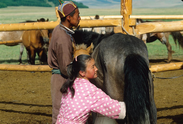 Milking a mare in Mongolia.