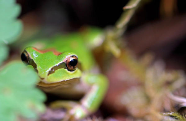 <p>The Pacific chorus frog.</p>