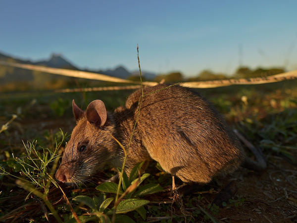 An African giant pouched rat sniffs for traces of land mine explosives at a training facility run by APOPO, a nonprofit that trains the rats to detect both tuberculosis and land mines. Not only does it have an excellent nose, but it can jump 5 feet in the air.