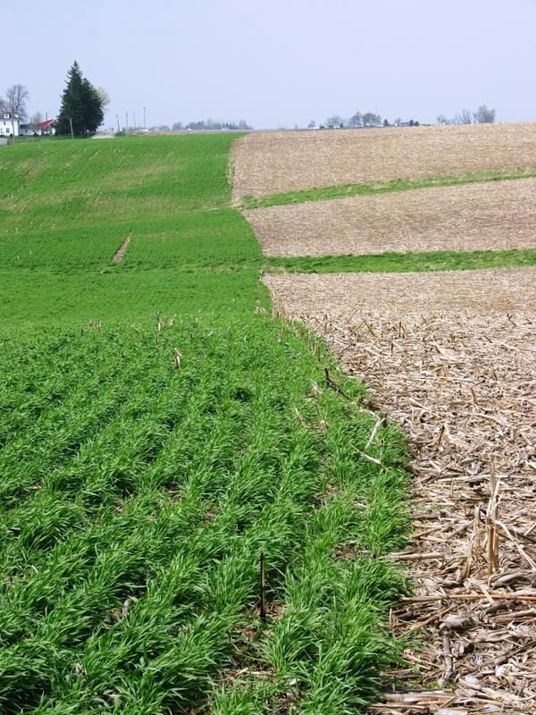 A growing cover crop (left) captures soil nutrients that otherwise might wash away from a field with no vegetation.