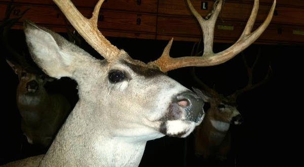 <p>Mounted trophy deer heads at the Jackson County Sportsmen's Show.</p>