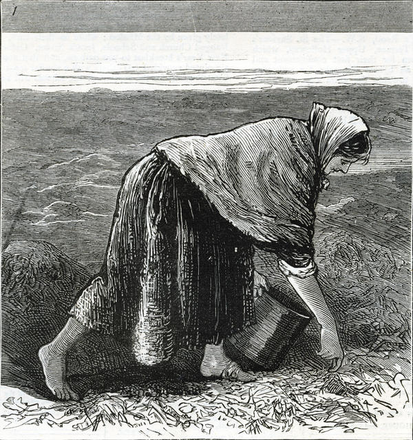 Famine in Ireland: An illustration from 1879 shows an Irish woman collecting seaweed along the coast.
