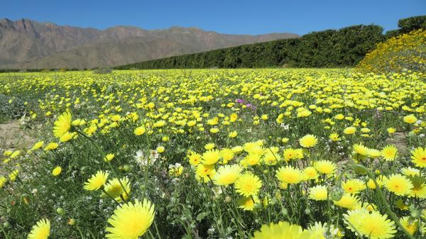 "Anza-Borrego Desert State Park in Southern California is having a rare ""super bloom."""