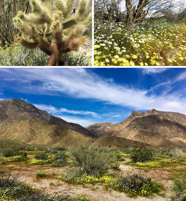 "California has been so unseasonably wet, its deserts are experiencing a ""super bloom."" After years of drought, the desert is lush."