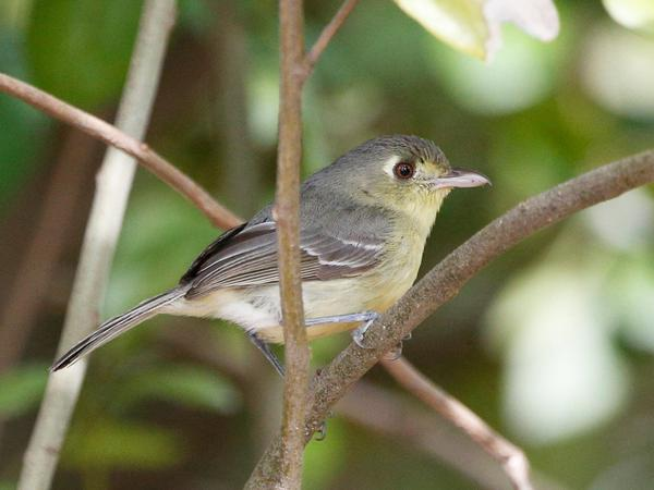 A Cuban vireo in Key West, Fla., in April 2016.