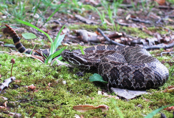 An adult Eastern massasauga in southwestern Michigan.