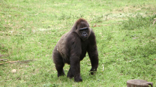 Kumbuka is a nearly 300 lb. deaf female gorilla living at the Jacksonville Zoo.