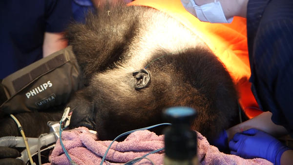 Kumbuka was sedated during her hearing test.