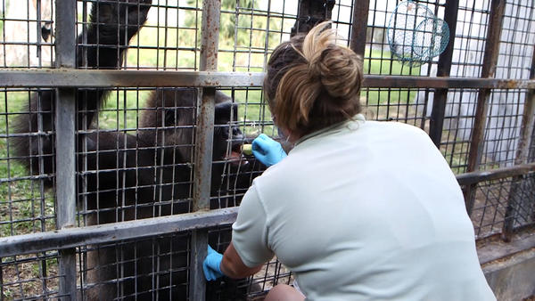 Jacksonville Zookeeper giving Kumbuka a treat.
