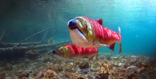 <p>Sockeye salmon.</p>