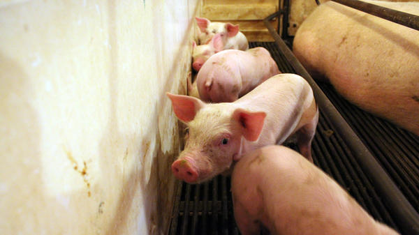 These piglets on the Hardin farm in Danville, Ind., are going to cost more to feed than they will fetch at market.