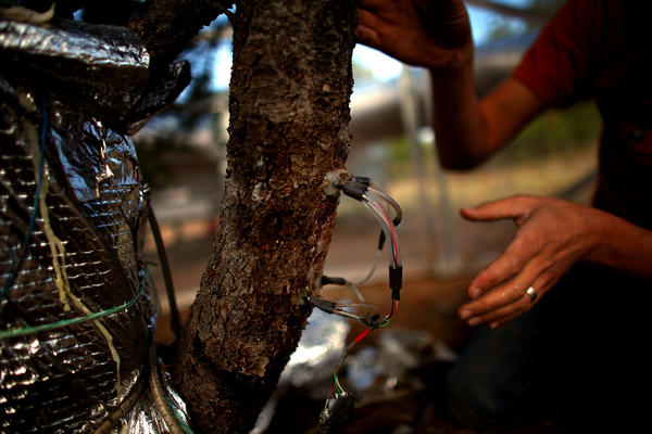 Instruments attached to the trees monitor how they respond to simulated drier, hotter conditions. Scientists say the cycle of heat and drought in the Southwest has intensified because of climate change.