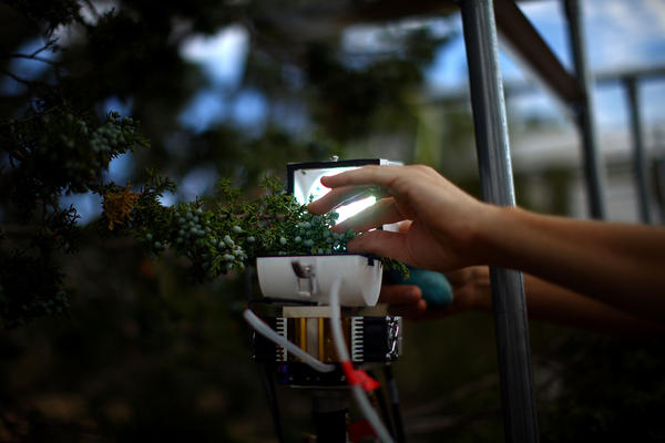 Researchers study every aspect of the tree as it fails under intense heat and lack of water. This device monitors the tree's respiration.