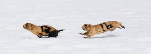 Utah prairie dogs, labeled 12 and 16, engage in a mating season chase. They've been marked with fur dye so researchers can identify them from far away.
