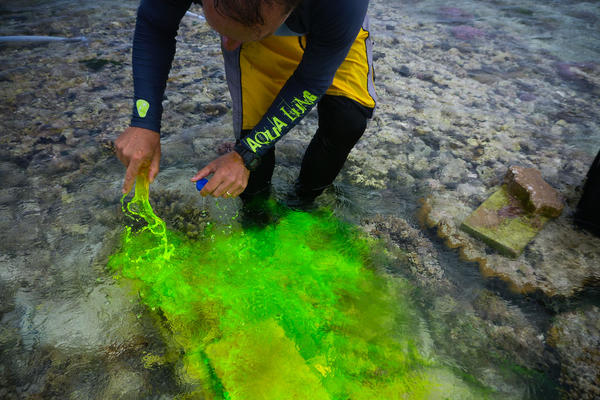 Caldeira pours fluorescein dye over the coral to determine which direction the current is flowing. This spectacular dye is also used in medical diagnosis and is considered harmless for the reef.