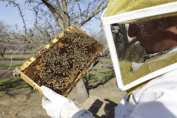 A bee inspector checks on a frame of bees to assess the colony strength near Turlock, Calif., in February. More than 30 percent of America's bee colonies died off over the winter.