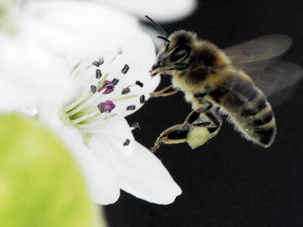 A bee collects nectar from a fruit tree in West Bath, Maine. The number of honeybees has now dwindled to the point where there may not be enough to pollinate some major U.S. crops.