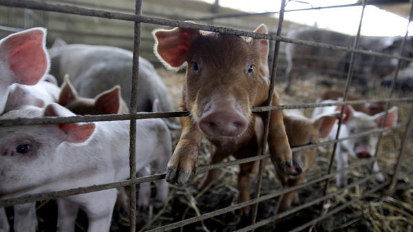 Piglets in a pen on a hog farm in Frankenstein, Mo.