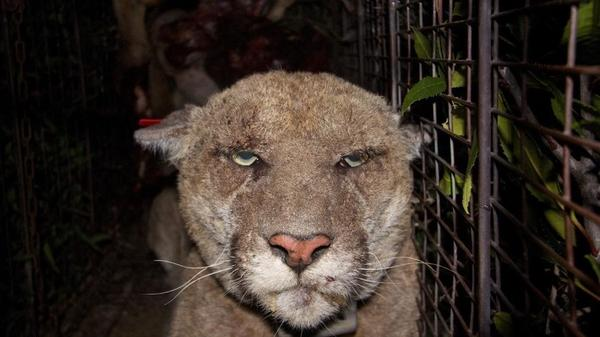 A mountain lion known as P-22 was recaptured in March by National Park Service biologists and treated for mange. Wildlife officials believe the cougar's ill health is the result of exposure to rat poison.
