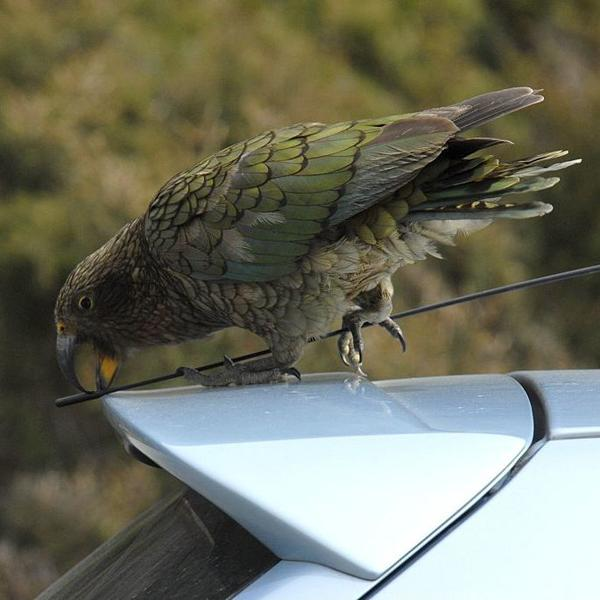 A kea parrot picks at the antenna of a vehicle in New Zealand.