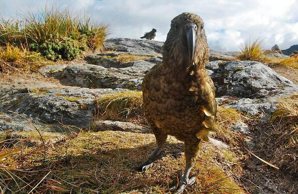 The kea, native to the mountains of New Zealand, is known to be particularly intelligent, curious and social.