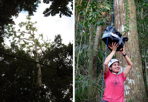 Dartmouth biologist Laurel Symes planted audio recorders high up in trees to gather hours of recordings.
