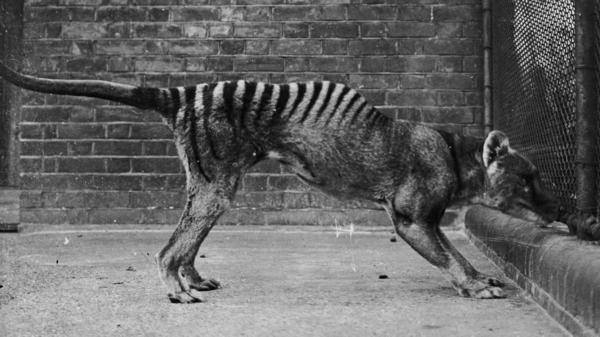 A Tasmanian tiger in captivity, circa 1930. It is believed that the last wild thylacine was shot in 1930 and the last captive one died in 1936.