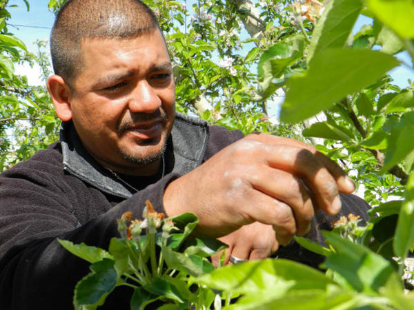 <p>Worker Tony Mendoza picks extra apple blossoms of trees in Jerry Haak's orchard. By removing the blossoms, Haak can grow larger apples with less resources, like water and sun.</p>