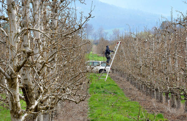 <p>A pruner works an orchard Monday, March 13, 2017, on Payne Road east of Phoenix, Oregon.</p>