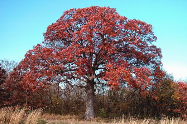 A white oak in Randolph County