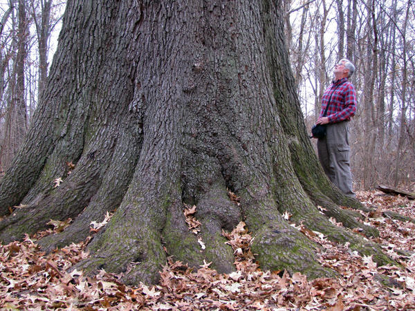 Guy Sternberg, retired Illinois landscape architect for the IDNR and founder and director of the Starhill Forest Arboretum, stands next to a cherrybark oak at the Cache River State Natural Area in southern Illinois.