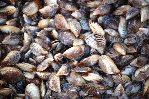 Zebra mussels, an invasive species that can devastate ecosystems, were discovered in Lake Texoma in 2009.